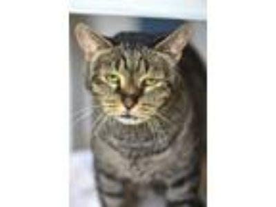 Adopt Dudley a Domestic Shorthair / Mixed cat in Madison, NJ (25296896)