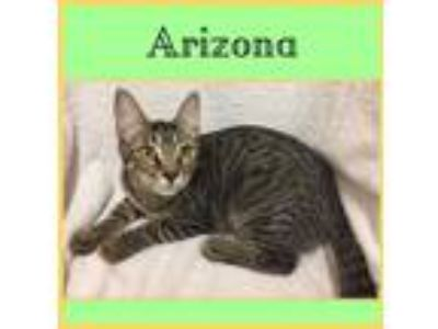 Adopt Arizona a Domestic Shorthair / Mixed cat in Dallas, TX (22604530)