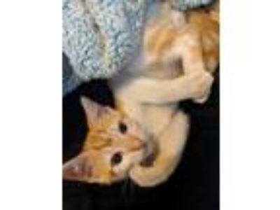 Adopt Kitten a Orange or Red Tabby Domestic Shorthair cat in Riverview