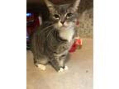 Adopt Kiki a Gray, Blue or Silver Tabby Domestic Shorthair / Mixed cat in Saint