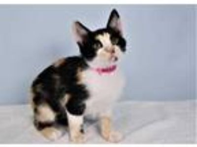 Adopt PICA a Calico or Dilute Calico Domestic Shorthair / Mixed (short coat) cat