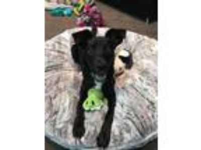 Adopt Scottie a Labrador Retriever, Schipperke