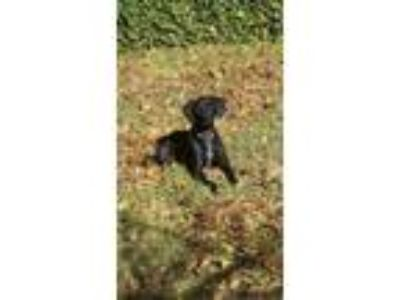 Adopt Stella a German Shorthaired Pointer