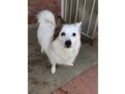 Adopt Cissy a White - with Brown or Chocolate Sheltie, Shetland Sheepdog /