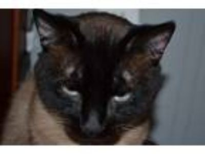 Adopt Jensen a Gray or Blue (Mostly) Siamese cat in Poyen, AR (24726470)