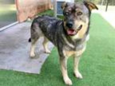 Adopt MOOSE a German Shepherd Dog, Siberian Husky