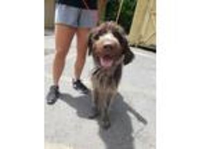 Adopt Vickers a Brown/Chocolate - with White Wirehaired Pointing Griffon / Mixed