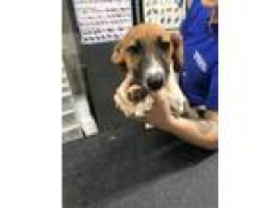 Adopt Jethro a Brown/Chocolate Dachshund / Jack Russell Terrier / Mixed dog in