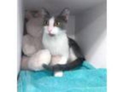 Adopt Miyu a Gray or Blue Domestic Shorthair / Domestic Shorthair / Mixed cat in