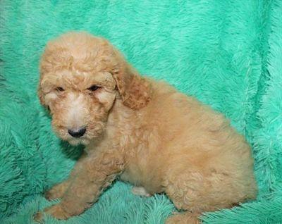 Poodle (Standard) PUPPY FOR SALE ADN-95872 - Standard Poodle Female For Sale