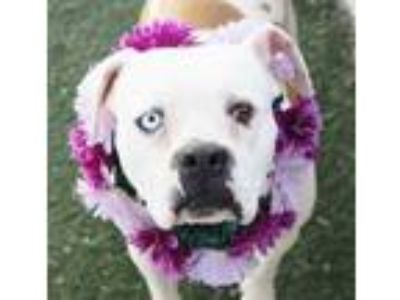 Adopt OLIVE a White - with Brown or Chocolate Boxer / Mixed dog in Las Vegas