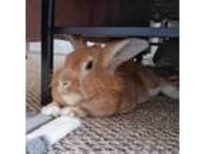 Adopt Chance a Bunny Rabbit