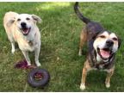 Adopt Dax a White Shepherd (Unknown Type) / Labrador Retriever / Mixed dog in