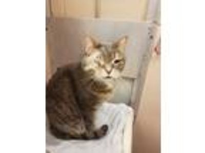 Adopt Peppers a Domestic Short Hair