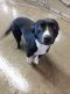 Zena Pit Bull Terrier Dog