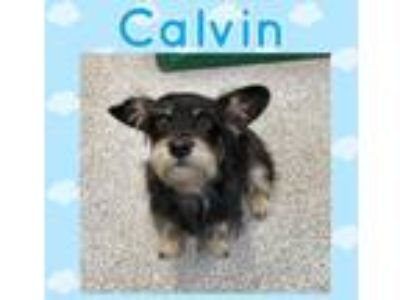 Adopt Calvin a Black - with Tan, Yellow or Fawn Dachshund / Mixed dog in Los