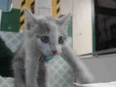 Adopt MUSTAFA a White (Mostly) Domestic Shorthair / Mixed (short coat) cat in