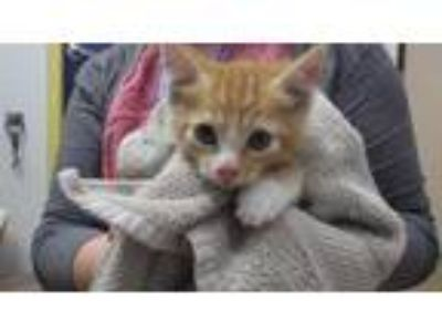 Adopt MILO a Orange or Red (Mostly) Domestic Shorthair / Mixed (short coat) cat