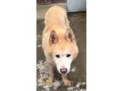 Adopt Akita a Red/Golden/Orange/Chestnut - with White Akita / Mixed dog in