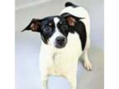 Adopt Violet a Rat Terrier, Mixed Breed