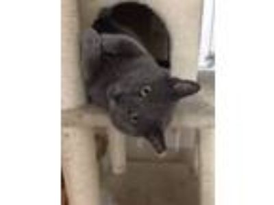 Adopt KYLE a Russian Blue, Domestic Short Hair