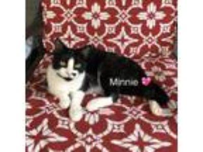 Adopt Minnie a Domestic Short Hair