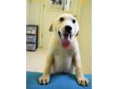 Adopt Brandon a Tan/Yellow/Fawn Retriever (Unknown Type) / Mixed dog in Pekin