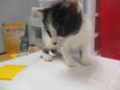 Adopt Gaby a All Black Domestic Shorthair / Domestic Shorthair / Mixed cat in