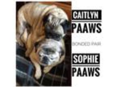 Adopt Caitlyn a Tan/Yellow/Fawn Pug / Mixed dog in Newburgh, IN (24817642)