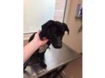 Adopt McDreamy a Labrador Retriever, Mixed Breed