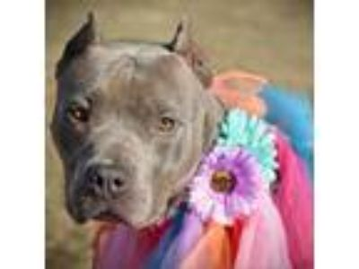 Adopt Topeka a Gray/Silver/Salt & Pepper - with Black Pit Bull Terrier dog in
