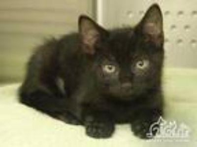 Adopt SARAH a All Black Domestic Shorthair / Mixed (short coat) cat in Irvine