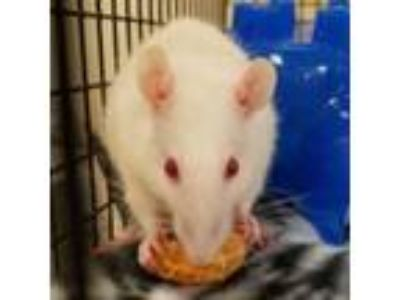 Adopt Rizzo a Rat small animal in Evansville, IN (25860360)