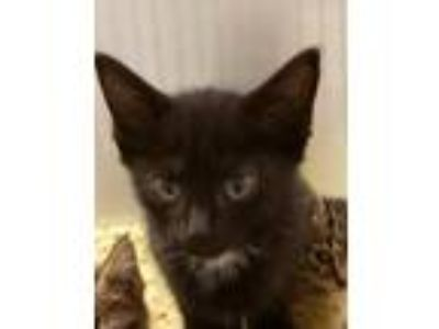 Adopt Cat Cage 14 a Black (Mostly) Domestic Shorthair / Mixed cat in Greenville