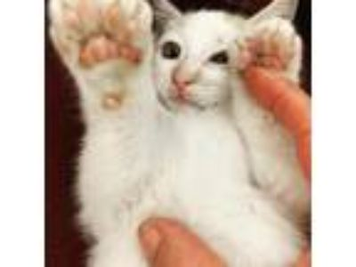 Adopt Bean a White (Mostly) Domestic Shorthair / Mixed (short coat) cat in San