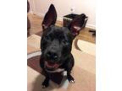 Adopt Andrea a Labrador Retriever, Terrier