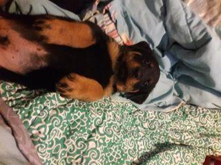 Rottweiler PUPPY FOR SALE ADN-79677 - German Rottweiler male pup