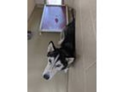 Adopt Timber a Husky