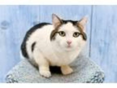 Adopt Peggy a Domestic Shorthair / Mixed (short coat) cat in Park City