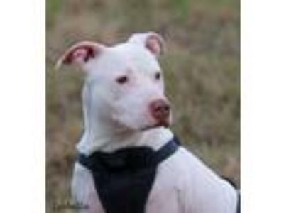 Adopt ISABELLA a White Bull Terrier / Mixed dog in Gloucester, VA (24841872)
