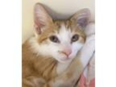 Adopt Raclette a Domestic Shorthair / Mixed cat in Atascadero, CA (25547908)