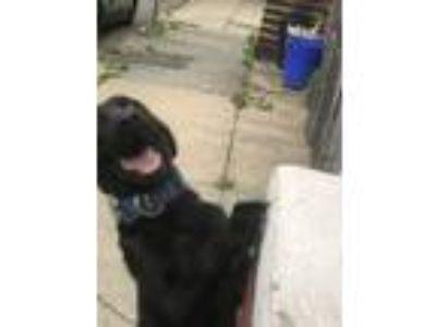 Adopt Max a Black Golden Retriever / Weimaraner / Mixed dog in Newark