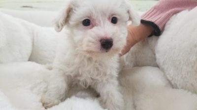 Male - Maltipoo puppy - Martin