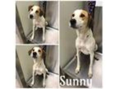 Adopt SUNNY a White - with Brown or Chocolate Labrador Retriever / Mixed dog in