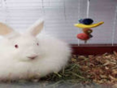 Adopt ABBEY a White Other/Unknown / Mixed rabbit in Fort Walton Beach