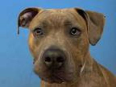 Adopt Bubba a Tan/Yellow/Fawn American Staffordshire Terrier / Mixed dog in