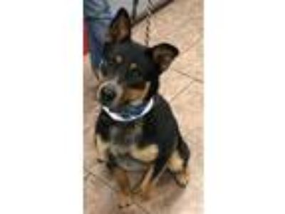 Adopt Marti a Australian Cattle Dog / Blue Heeler, Shepherd