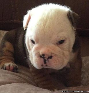 Pure Breed English Bulldog Puppies availble