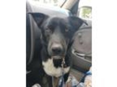 Adopt Ricky a Border Collie