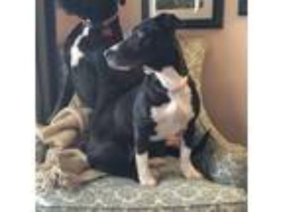 Adopt Zoe a Black - with White Dachshund / Rat Terrier / Mixed dog in